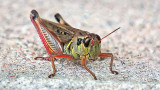 Grasshopper Closeup DSCF18245-6