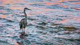 Heron At Sunrise P1090476