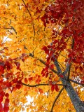 Early Autumn Leaves P1110190