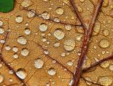 Wet Oak Leaf P1000290-1