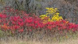 Autumn Sumac 20141017