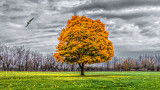 Lone Autumn Tree 20141106