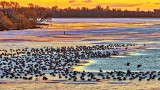 Migrating Geese Layover At Sunrise 20141121