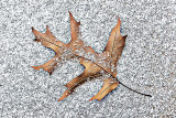 Oak Leaf In Snow 20141210