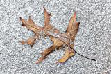 Oak Leaf In Snow 20141210