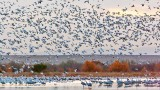 Snow Geese Flyout At Dawn 72885