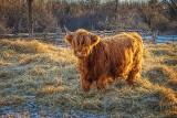 Highland Cow P1110349-50
