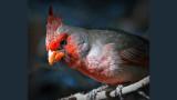 Cardinalis Hybrid 75855