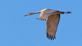 Sandhill Crane In Flight 73122