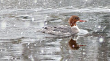 Swimming Merganser P1060610