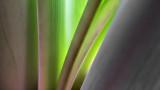 Amaryllis Abstract P1070202