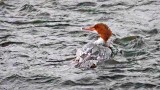 Swimming Merganser 20150218