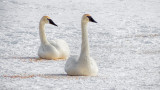 Swans On Ice 20150219