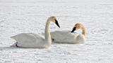 Swans On Ice DSCF0531