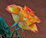 Fresh-cut Rose P1080066-8