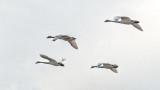 Four Swans Flying DSCF0608