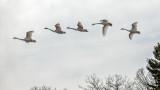 Five Swans Flying DSCF0607