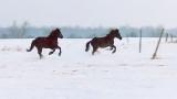 Running Horses 20150311