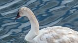 Dripping Swan DSCF0592