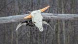 Skull & Cross Horns DSCF00617