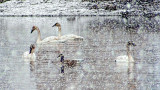 Swans & Goose In Snowstorm DSCF18940