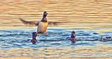 Ring-Necked Ducks At Sunrise 20150413