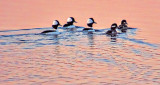 Buffleheads At Sunrise 20150415