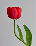 Red Tulip P1100747-9