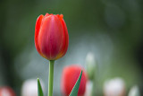 2015 Tulip Festival (P1110866)