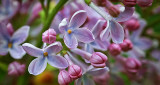 Lilac Closeup P1110958