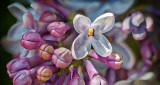Lilac Closeup P1120471-82