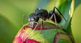 Ant On A Peony Bud P1120860