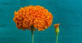 Marigolds P1140794-5