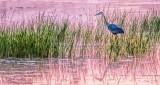 Heron Stalking Breakfast At Sunrise P1150313