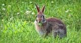 Bunny Eating The Yard DSCF4109