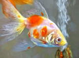 White & Orange Fish P1170049 'Art'