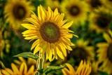 Backlit Sunflower DSCF4494