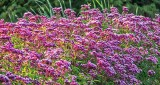 Roadside Wildflowers P1170301-3