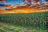 Cornfield At Sunrise P1170512-4