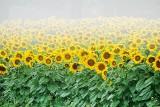Sunflower Field In Fog P1170635