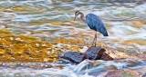 Heron Hunting At Sunrise P1170908