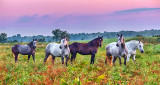 Five Horses At Sunrise P1170956-8