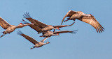 Sandhill Cranes In Flight 20011