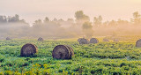 Bales In Misty Sunrise 45554-6