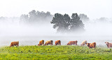 Cows On A Foggy Morning 45887