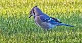 Blue Jay On The Ground DSCF4883