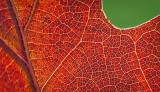 Backlit Autumn Oak Leaf Closeup P1210243