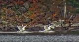 Two Swans Arriving DSCF5298A