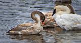 Preening Young Swan DSCF5308