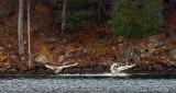 Three Swans Arriving DSCF5298B